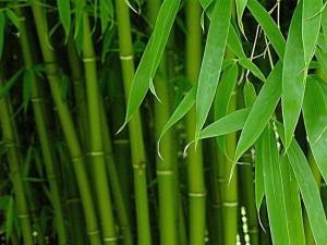 Бамбук